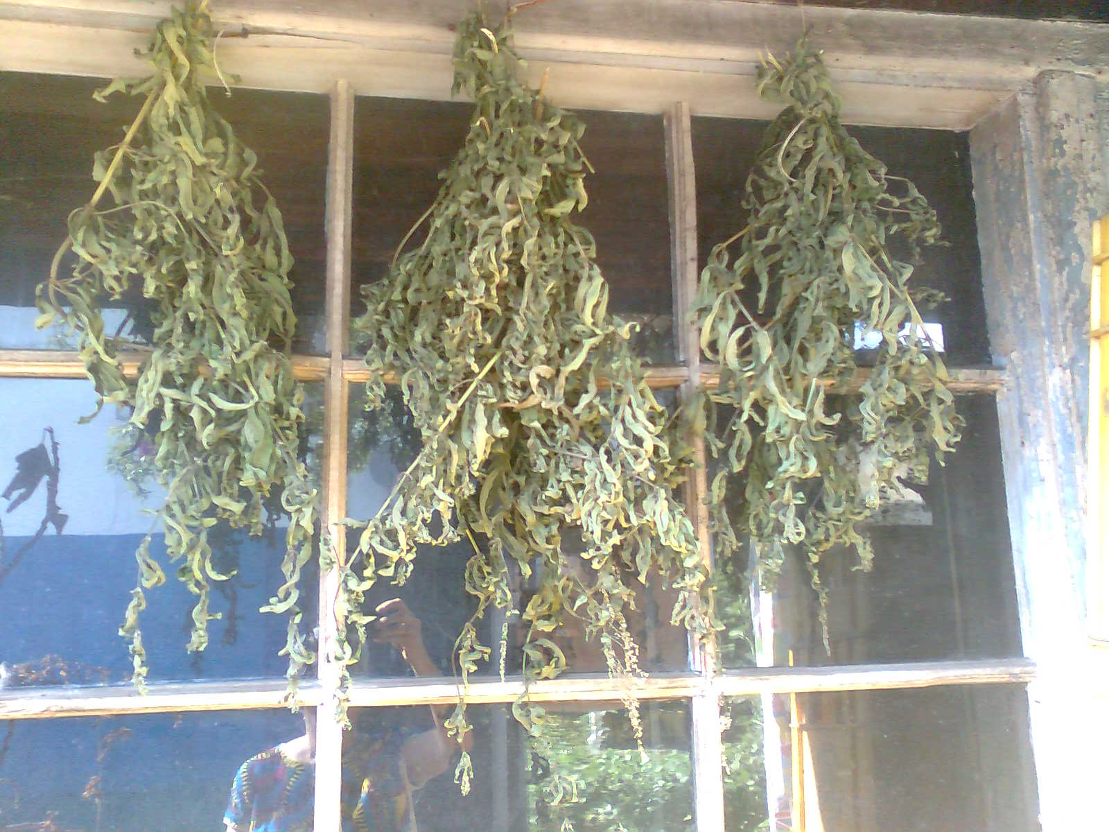 drying medicinal herbs
